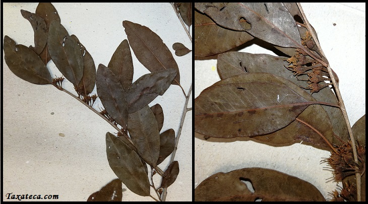 Capurodendron madagascariense Capurodendron_madagascariense