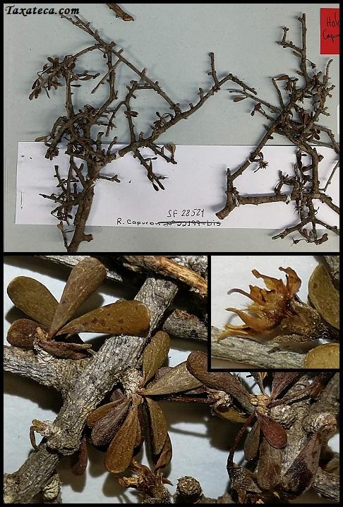 Capurodendron nanophyllum Capurodendron_nanophyllum