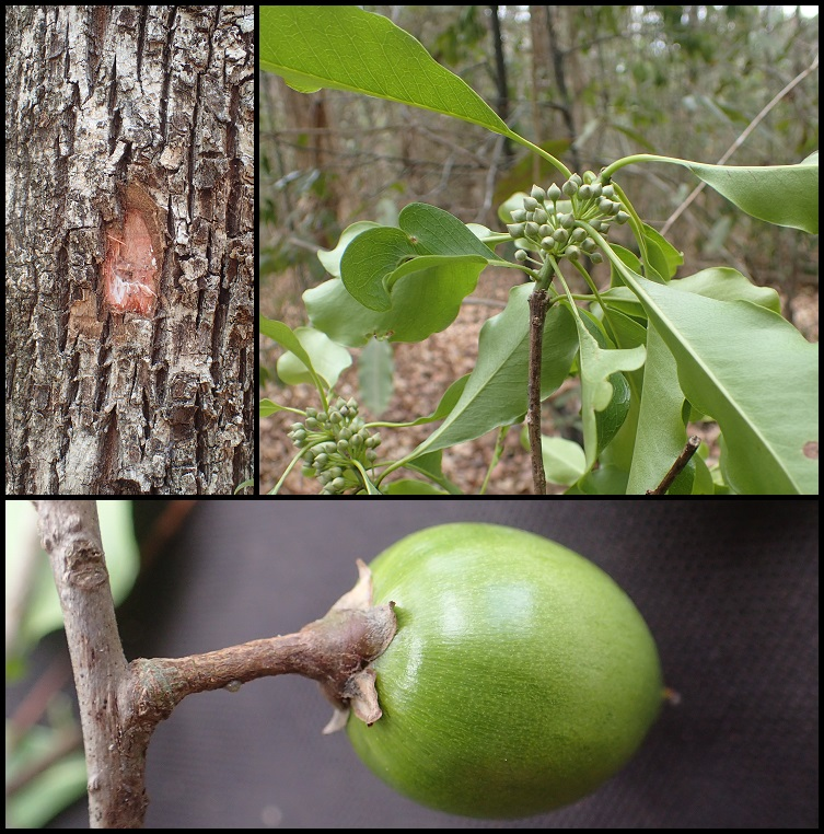 Capurodendron sakalavum  Capurodendron_sakalavum1