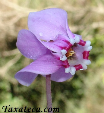 Cyclamen hederifolium Cyclamen_hederifolium