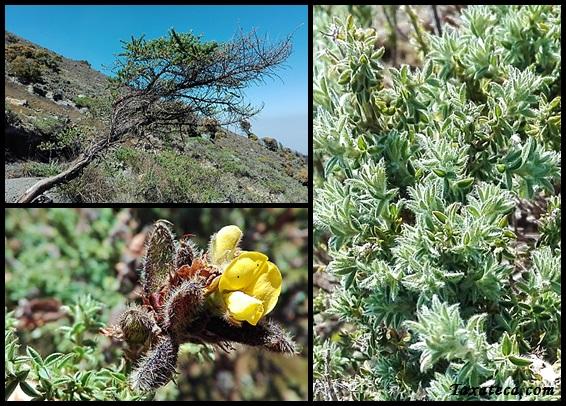 Adenocarpus mannii Adenocarpus_mannii