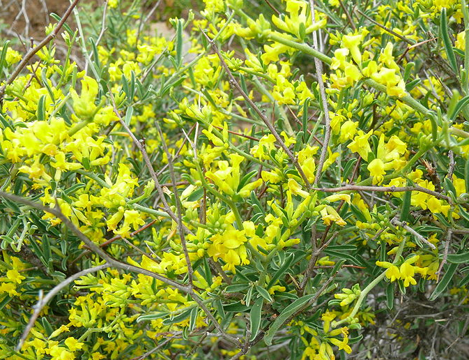 Anthyllis hermanniae Anthyllis_hermanniae