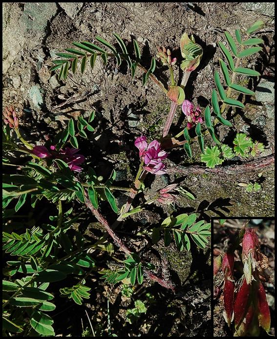 Astragalus atropilosulus Astragalus_atropilosulus