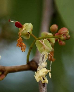 Colophospermum mopane Colophospermum_mopane