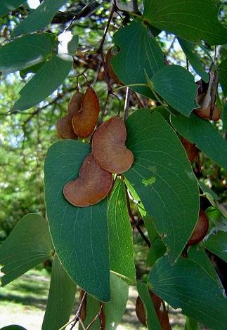 Colophospermum mopane Colophospermum_mopane2