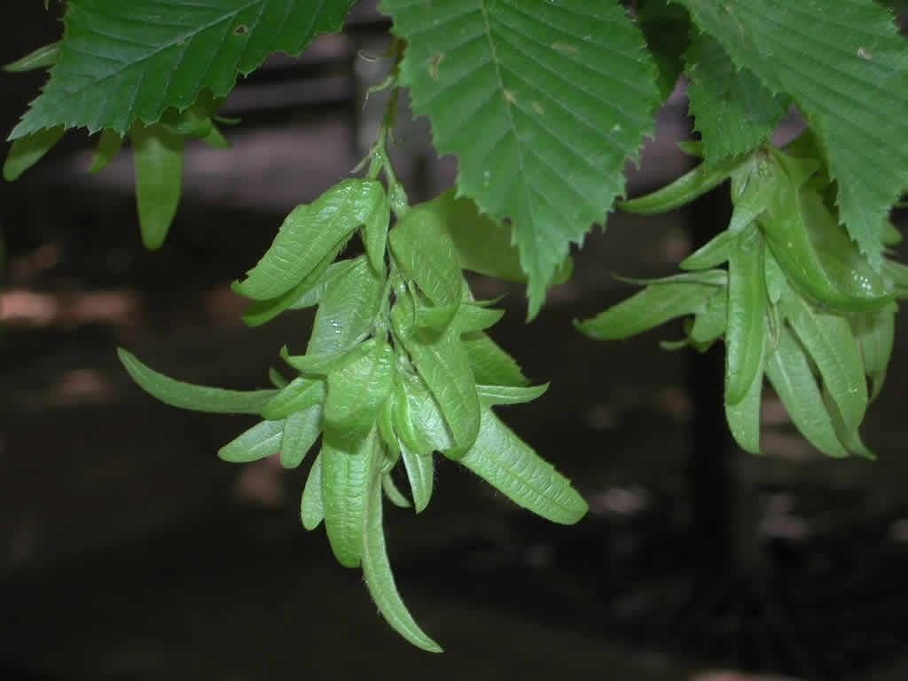 Carpinus betulus Carpinus_betulus2