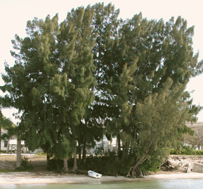 Casuarina equisetifolia Casuarina_equisetifolia2