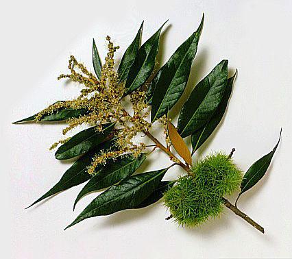 Chrysolepis chrysophylla Chrysolepis_chrysophylla2