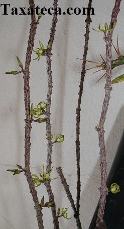Cynanchum marnierianum Cynanchum_marnierianum