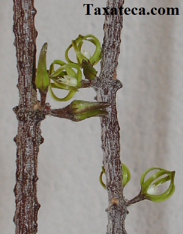 Cynanchum marnierianum Cynanchum_marnierianum2