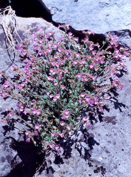Chaenorhinum origanifolium Chaenorrhinum_origanifolium