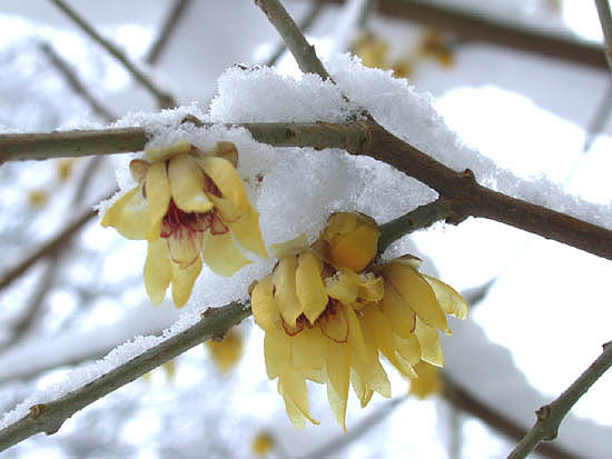 Chimonanthus praecox Chimonanthus_praecox