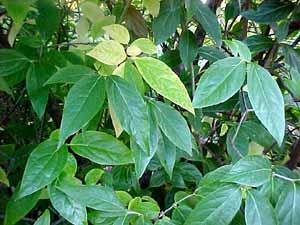 Chimonanthus praecox Chimonanthus_praecox2
