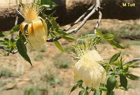 Adansonia gregorii Adansonia_gregorii2