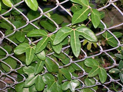 Aristolochia trilobata Aristolochia_trilobata