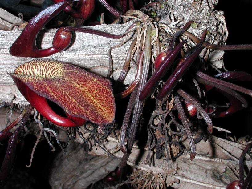 Aristolochia veraguensis Aristolochia_veraguensis2