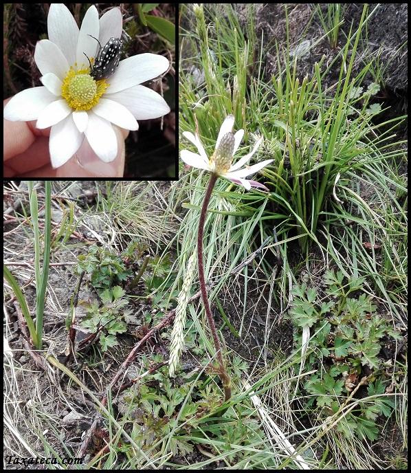 Anemone thomsonii Anemone_thomsonii