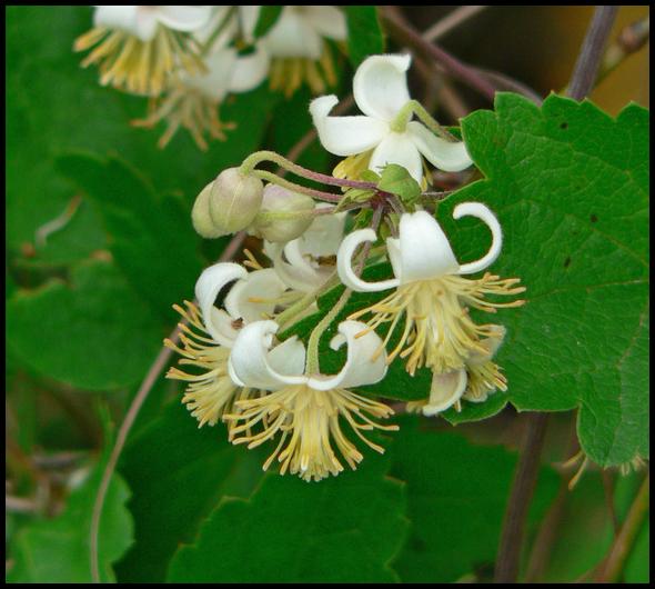 Clematis brachiata Clematis_brachiata