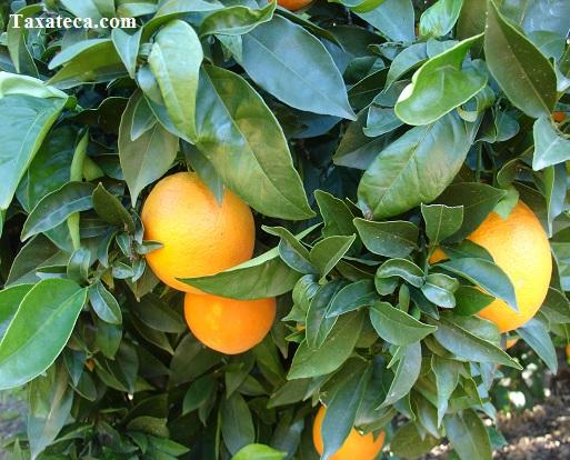 Citrus x sinensis Citrus_x_sinensis2