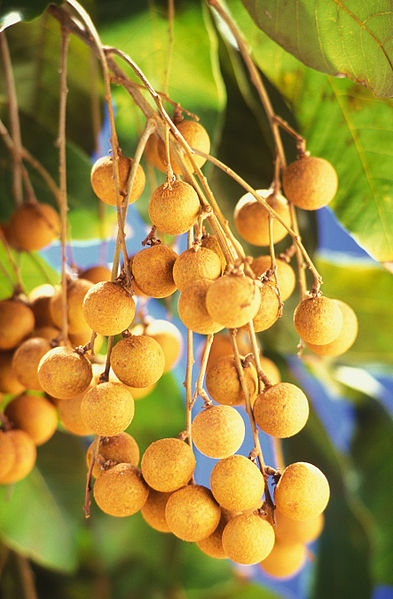 Dimocarpus longan Dimocarpus_longan