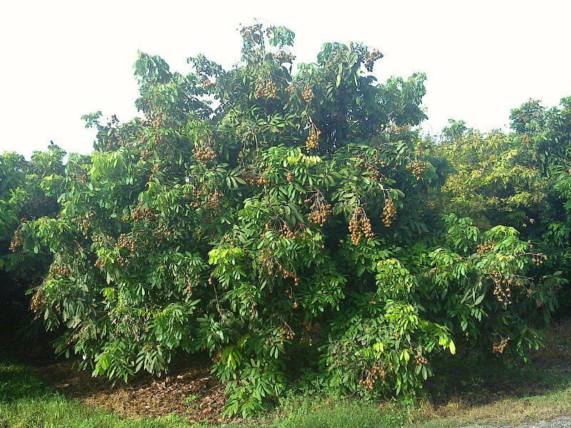 Dimocarpus longan Dimocarpus_longan2