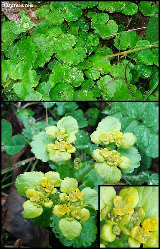 Chrysosplenium alternifolium  Chrysosplenium_alternifolium