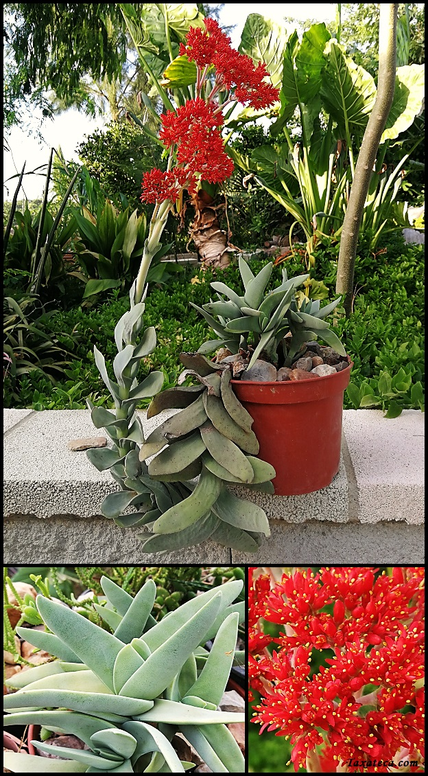 Crassula perfoliata Crassula_perfoliata