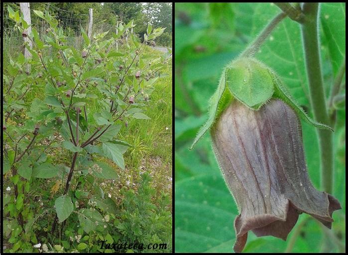 Atropa belladonna Atropa_belladona
