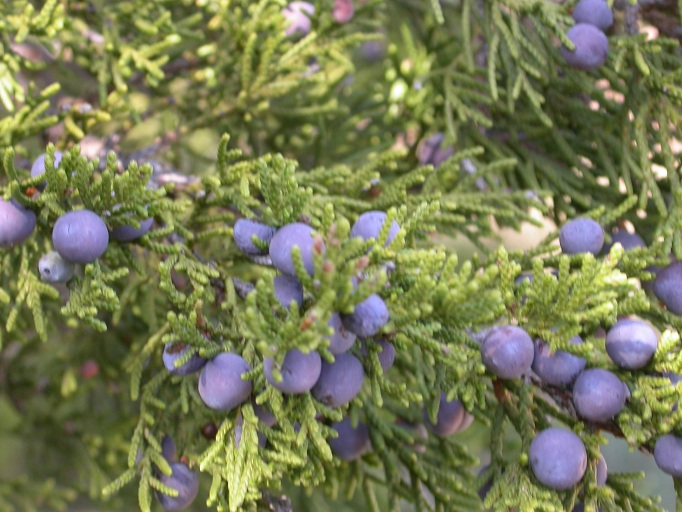 Juniperus ashei  Juniperus_ashei