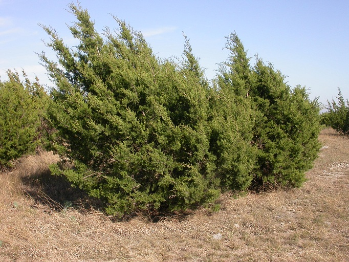 Juniperus ashei  Juniperus_ashei2
