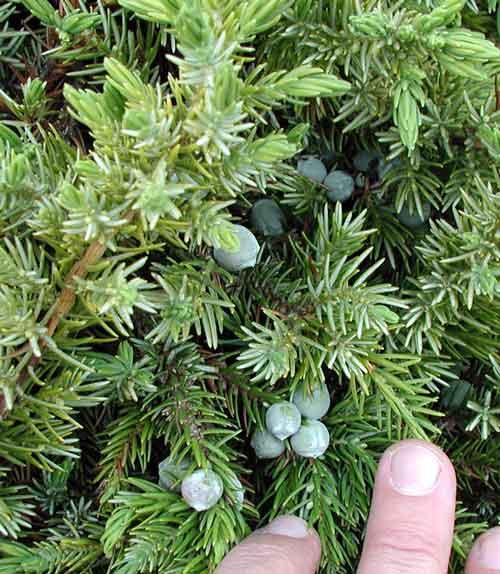 Juniperus conferta  Juniperus_conferta2