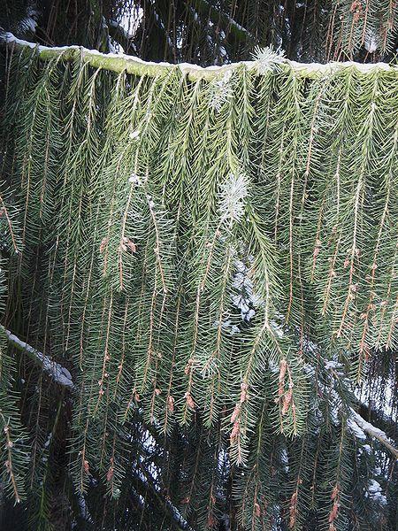 Picea breweriana   Picea_breweriana3