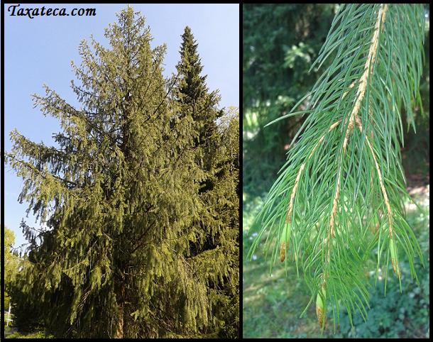 Picea schrenkiana  Picea_schrenkiana3