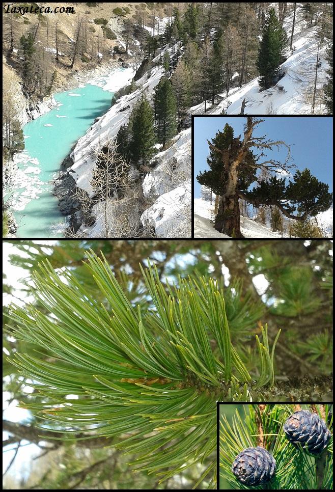 Pinus cembra Pinus_cembra