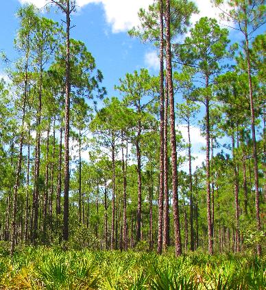 Pinus elliottii  Pinus_elliottii2