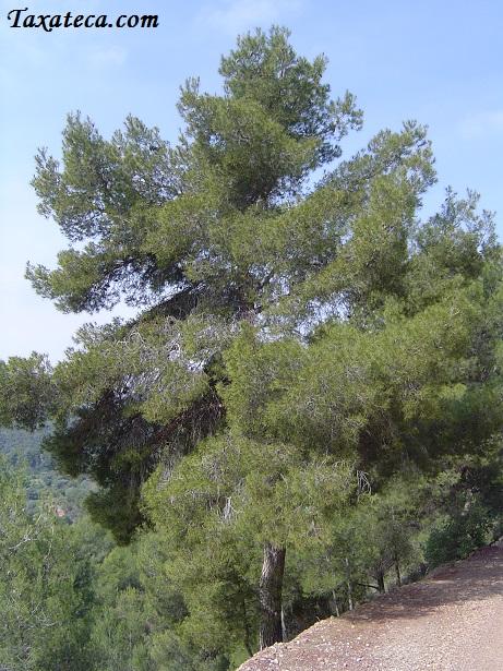 Pinus halepensis Pinus_halepensis