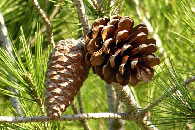 Pinus halepensis Pinus_halepensis2