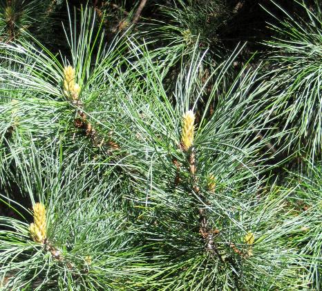 Pinus koraiensis Pinus_koraiensis