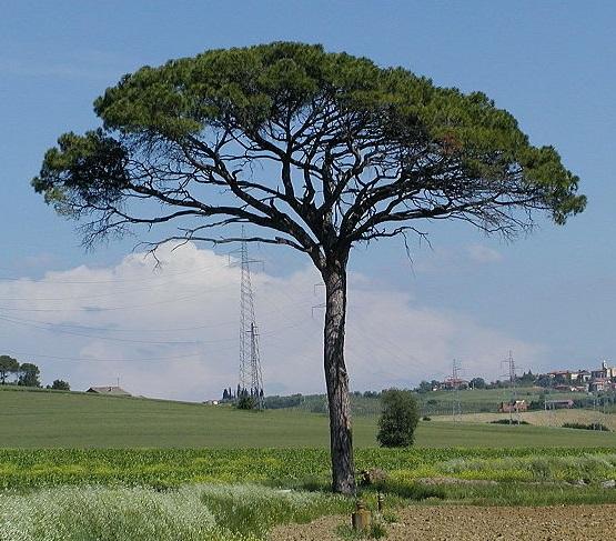 Pinus pinea Pinus_pinea