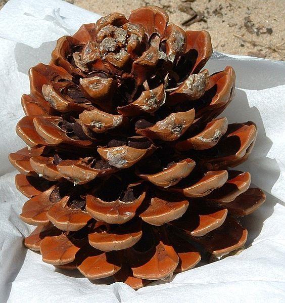 Pinus pinea Pinus_pinea2