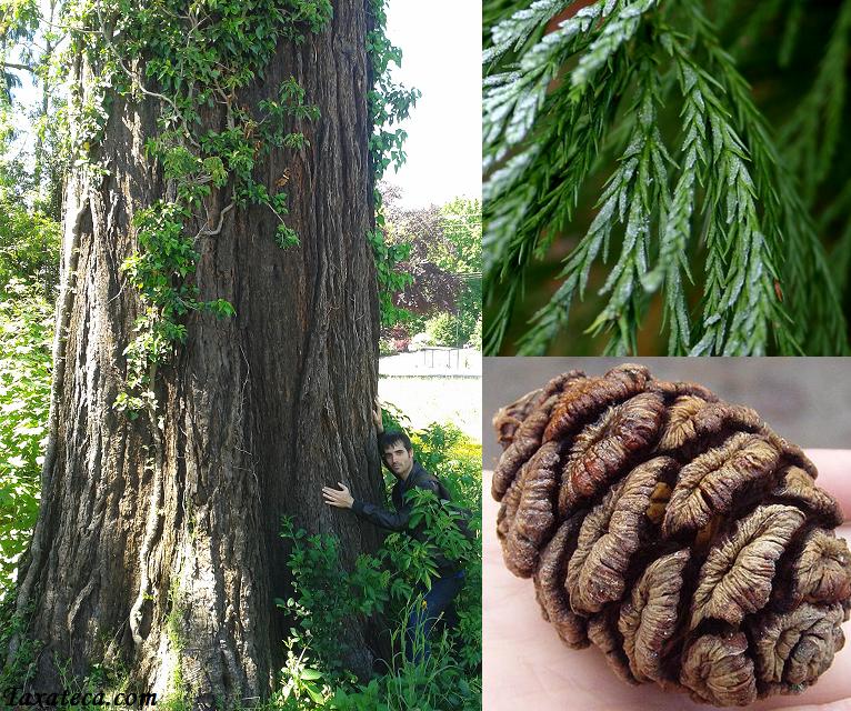Sequoiadendron giganteum Sequoiadendron_giganteum