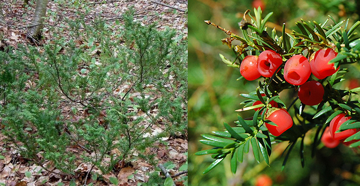 Taxus canadensis Taxus_canadensis
