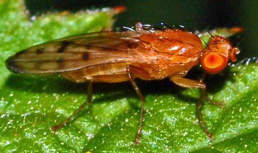 Opomyza florum Opomyza_florum