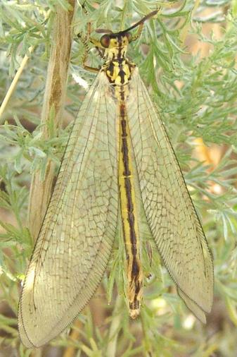 Myrmecaelurus trigrammus Myrmecaelurus_trigrammus