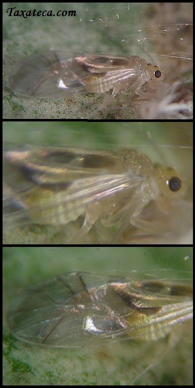 Graphopsocus cruciatus Graphopsocus_cruciatus