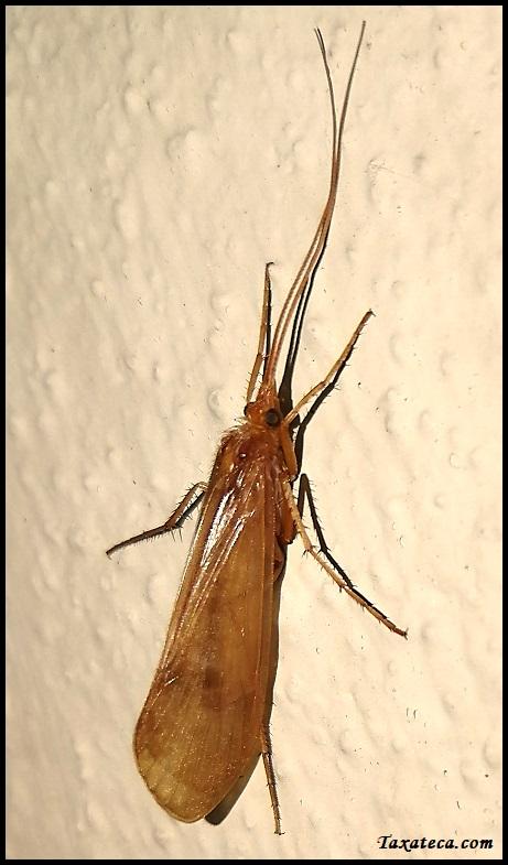 Stenophylax permistus Stenophylax_permistus