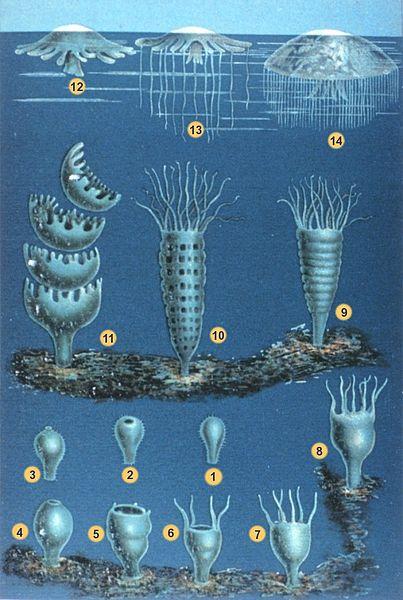 Cyanea capillata Ciclo_vital