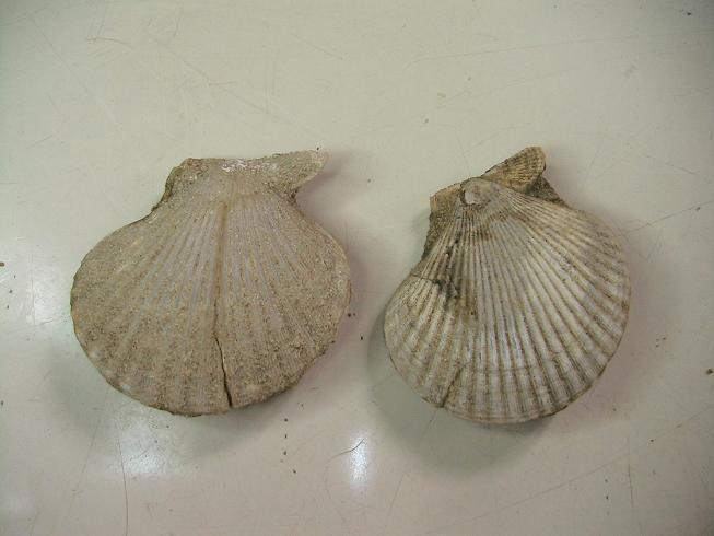Chlamys macrotis Chlamys_macrotis