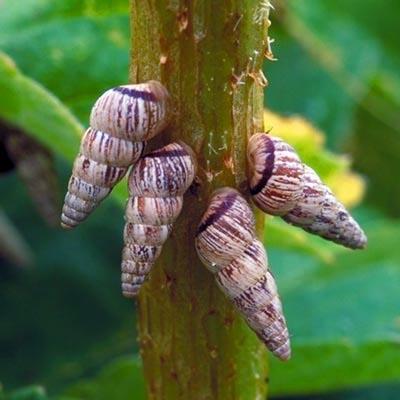Cochlicella acuta Cochlicella_acuta