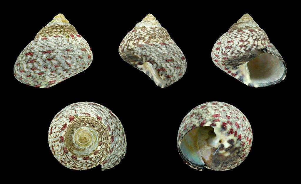 Osilinus articulatus  Osilinus_articulatus